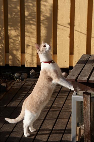 Kissaa ei voi vaatia toimimaan koiran viettikäytöksen mukaan