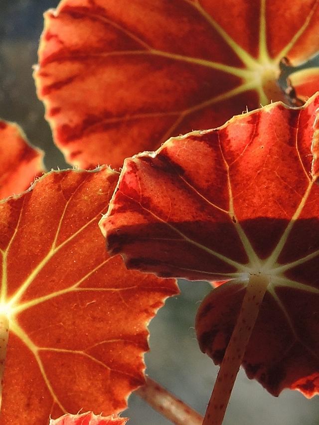 In mijn huiskamerjungle: rood/groenen bladbegonia