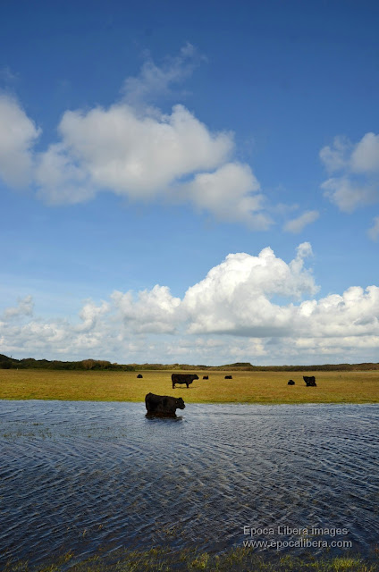 Landscape and flock of buffalo in Dunes of Texel National Park.