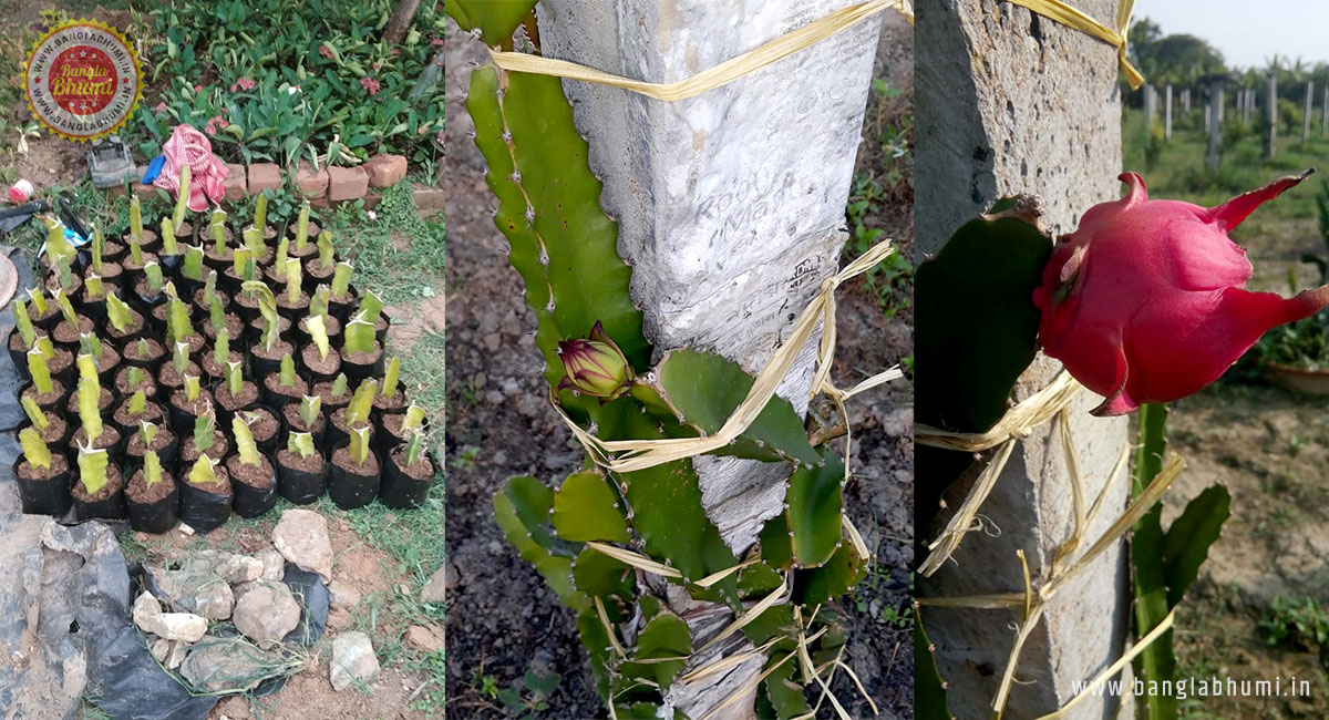 Dragon Fruit Farming in West Bengal