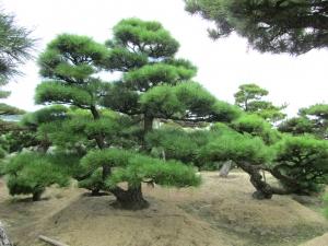 cultivando en suelo bonsais de pino