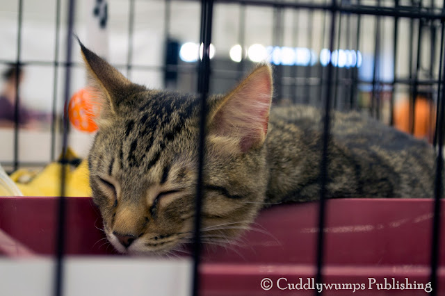 sleeping tabby--National Capital Cat Show 2017