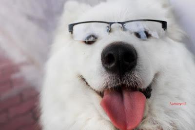 tìm hiểu về giống chó samoyed
