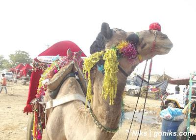 camel in pushkar fair