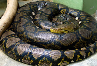 What you should know about Reticulated Pythons