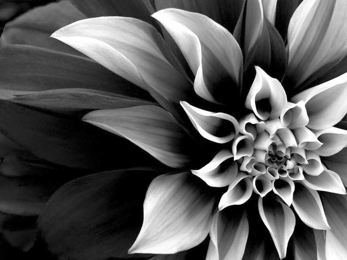 Black and White Real Flowers   Many Flowers Black and White Flowers  Black and White Real Flowers