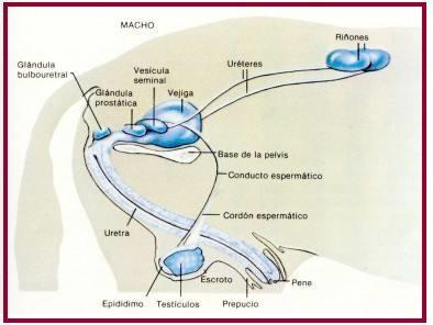 sistema reproductor del macho bovino