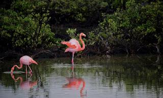 Flamingo- searching food at a lake