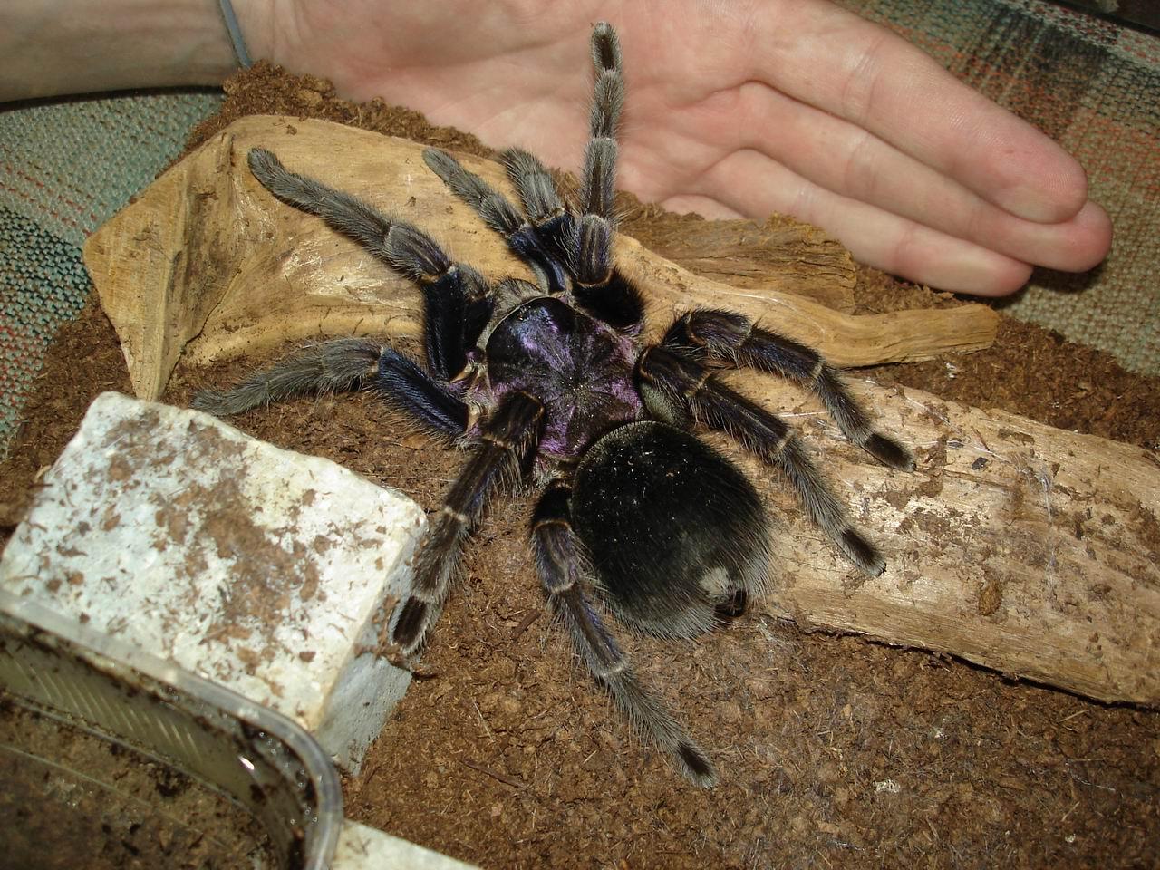 Amazing Tarantula Spider Giant on Animals And Their Habitats