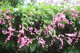 Bunga Air Mata Pengantin Pink