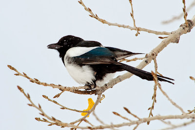 Magpie, Chatfield State Park
