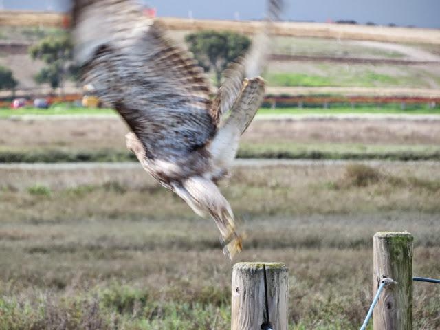 SF Bay Area Birds: Hawk taking flight at Palo Alto Baylands