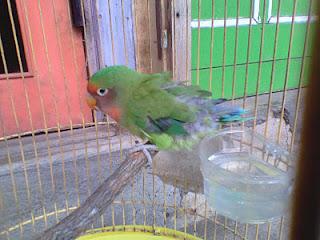 Burung Lovebird - Penyakit Kutu Burung yang Menyerang Burung Lovebird  dan Cara Penangannannya - Penangkaran Burung Lovebird
