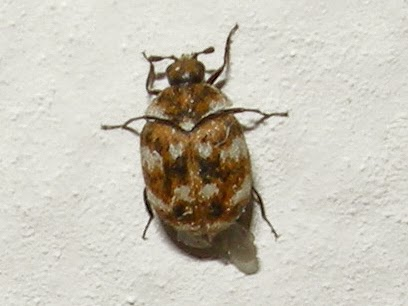 Gobirding Eu Mothing Diary Ypsolopha Murinella First
