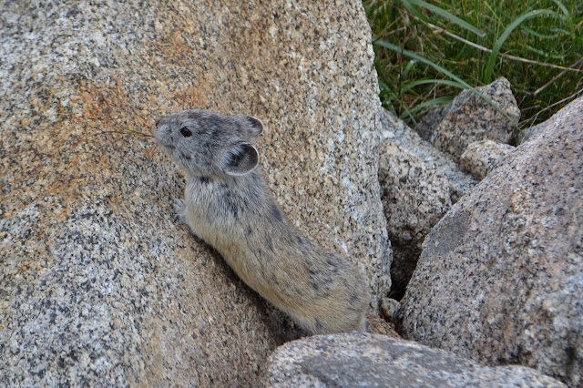 pika within the rocks, stretched toward the top