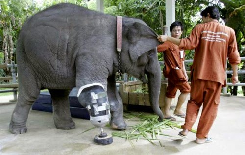 Prosthesis for elephant after amputation