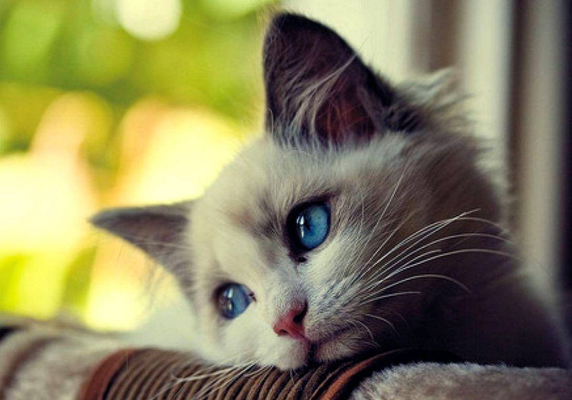sad animals Cute Sad Cat With Blue Eyes Animal Picture HD