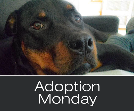 Adoption Monday: Chola, Rottweiler, Bowmanville, ON