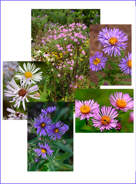 native aster New England Aster