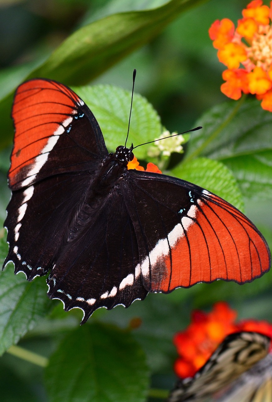 The rusty-tipped page butterfly.