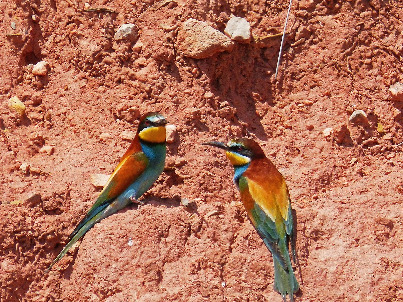 Two African bee-eater during drought times.