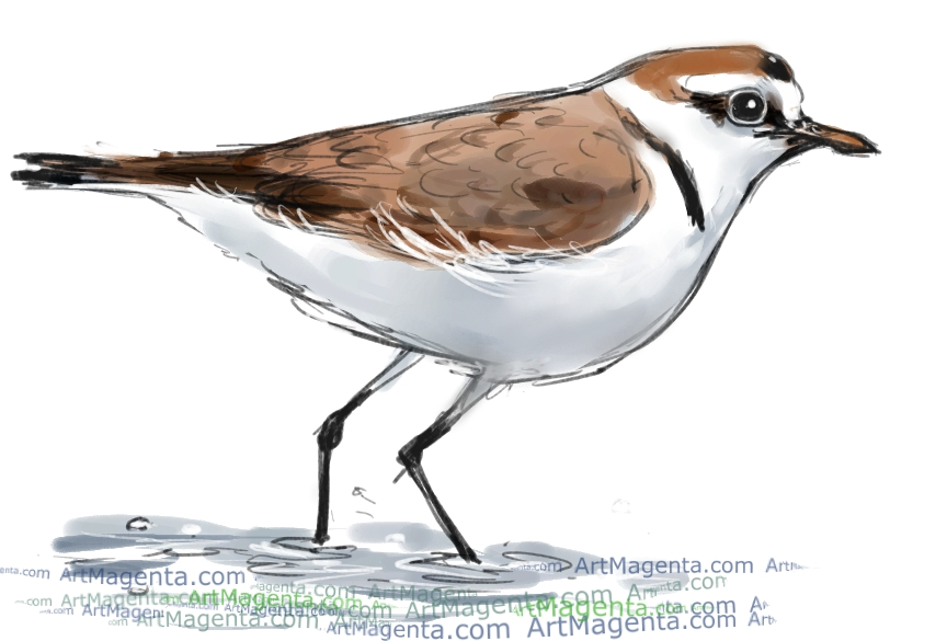 Kentish Plover sketch painting. Bird art drawing by illustrator Artmagent