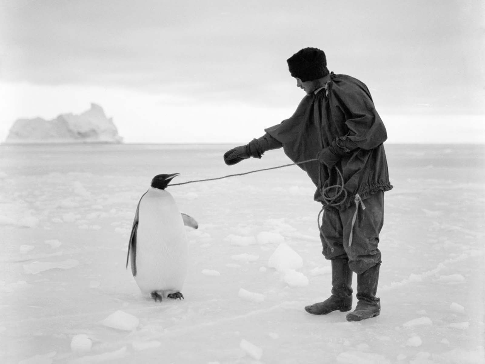 Expedition cook Thomas Clissold leads an Emperor penguin by a rope. April 1, 1911.