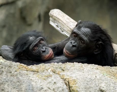 Bonobo chimpanzee homosexuality and christianity