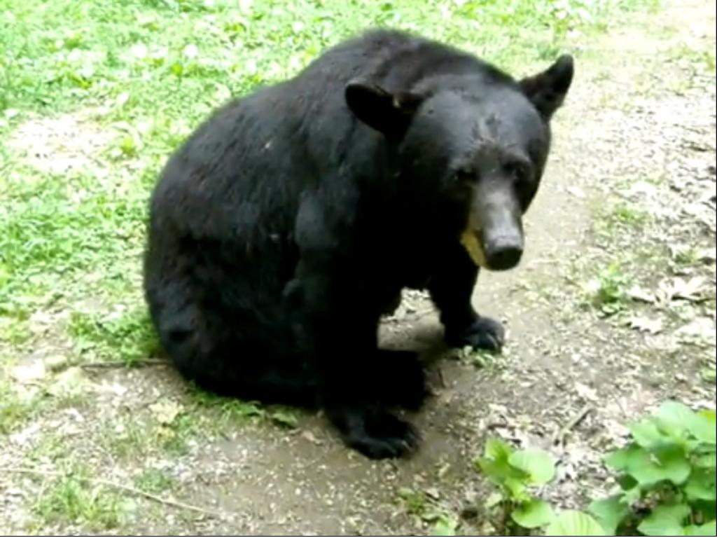 black bear sitted waiting for diner facts on black bears