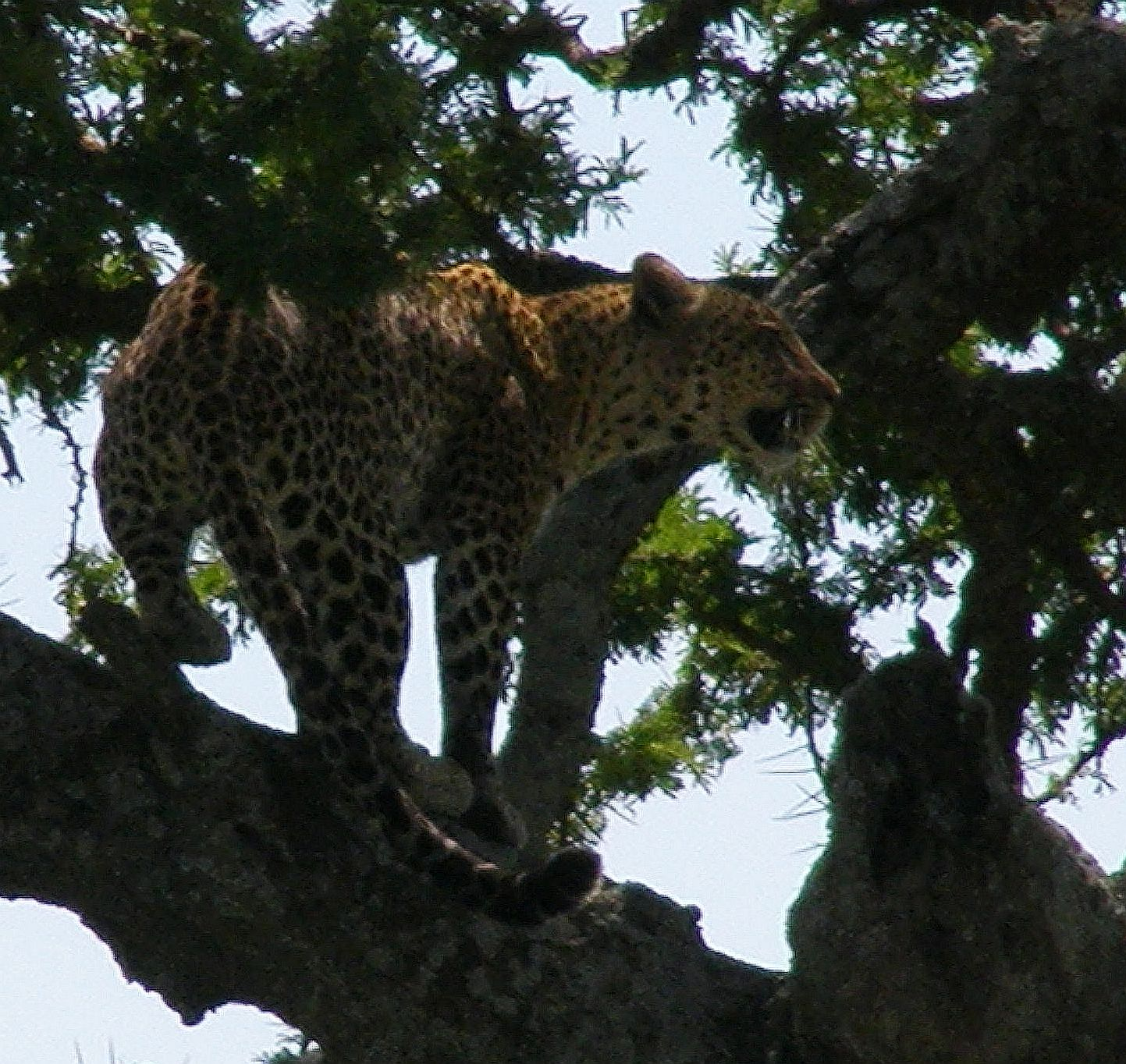 Jaguar Snarl: Beth Camp: On The Road : Leopards And Cheetahs Don't Share