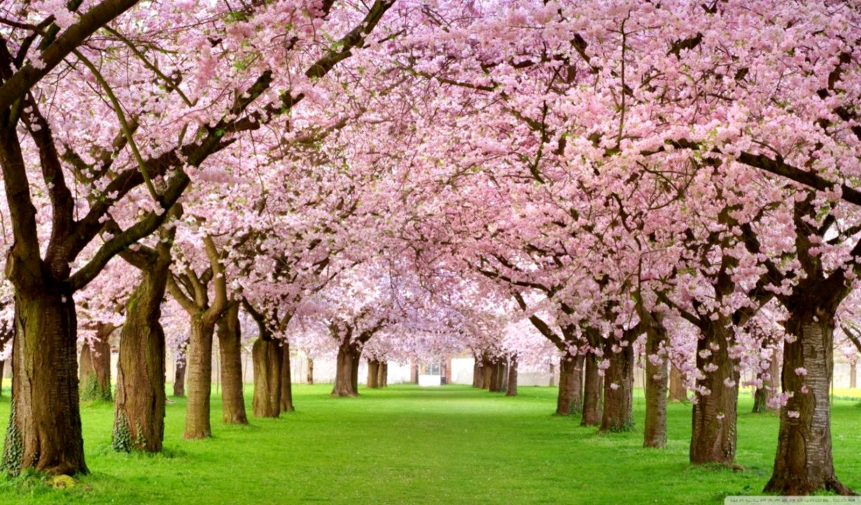Forest Tree Park Spring Pink Petals Nature Forest Flowers HD