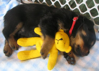 cute rottweiler puppy sleeping