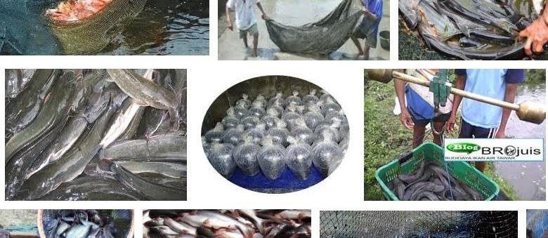 Panen dan Pasca Panen Ikan Sesuai Teknik yang Benar