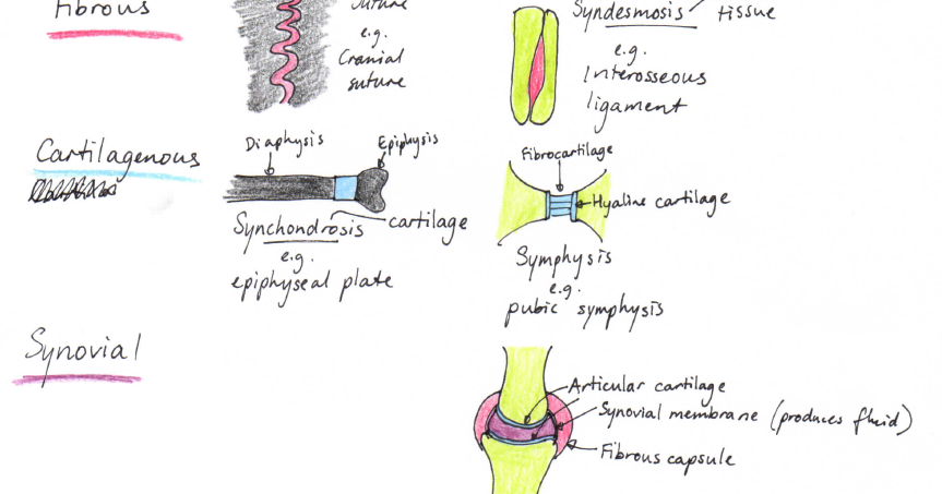 Year 11 Misadventures The Articular System Synchondrosis is a joint that is connected with hyaline cartilage, which makes the joint stiffer than a regular joint. year 11 misadventures the articular system