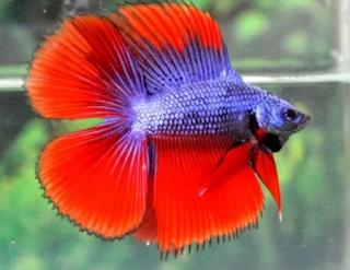Ikan cupang merupakan salah satu ikan air tawar  Kabar Terbaru- CARA MERAWAT IKAN CUPANG