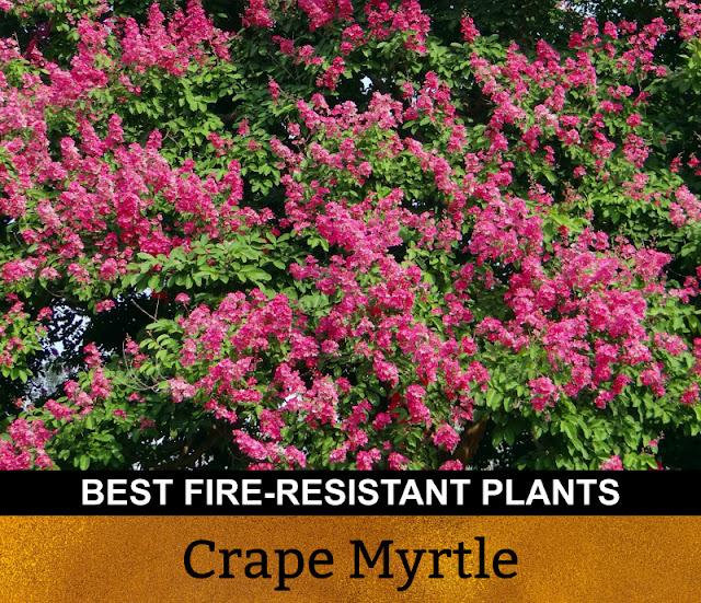 Best Fire Resistant Plants Crape Myrtle