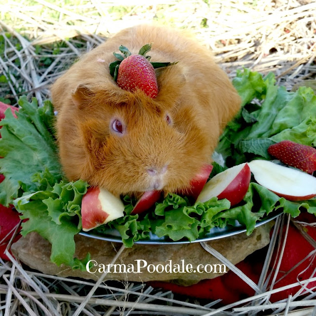 Guinea pig with strawberry on head