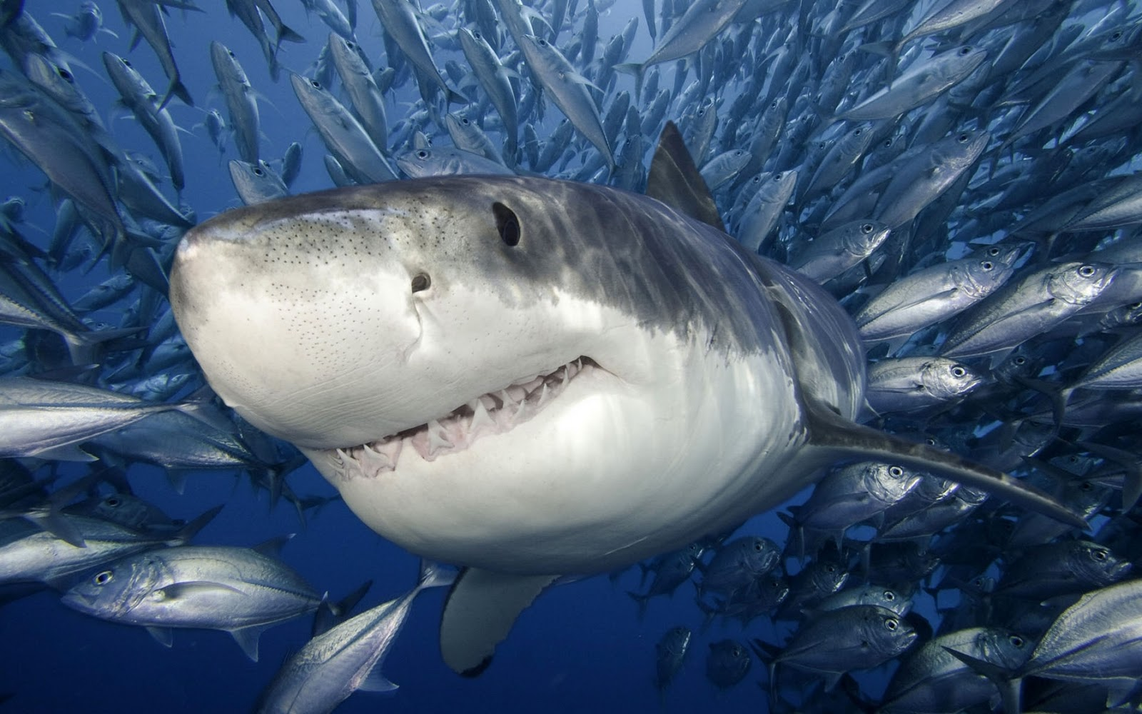 Shark Wallpaper HD Shark Pictures - HD Animal Wallpapers