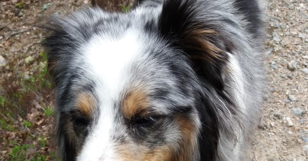 Stressaantunut Koira