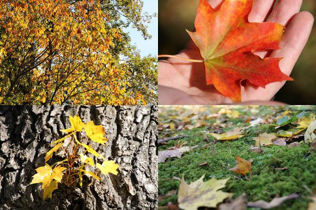 Herbstliche Eindrücke im Englischen Garten in Meiningen - bunter Baum, rotes Blatt in der Hand, Blatt wächst aus Baumstamm heraus und ein moosbewachsener Boden mit herabgefallenen Blättern