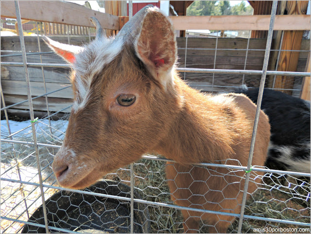 Granja de Sirope de Arce: Zona Animales