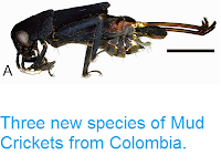 https://sciencythoughts.blogspot.com/2015/05/three-new-species-of-mud-crickets-from.html