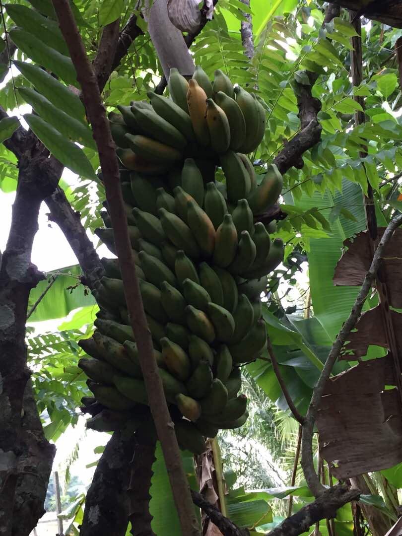 hasil tanaman, buah-buahan tempatan, berbudi pada tanah