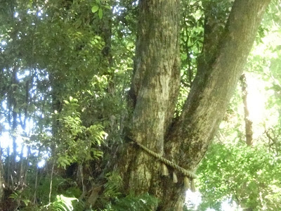 椎の木三本