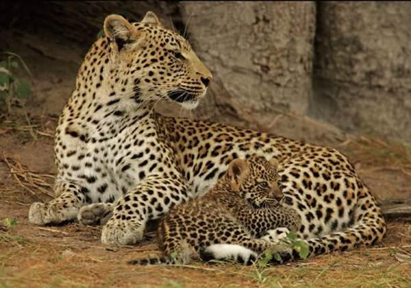 gambar leopard
