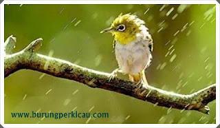 merawat burung di musim hujan