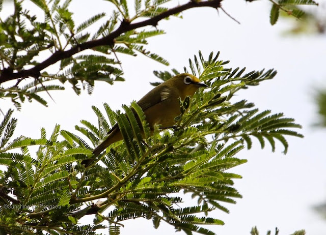 African Montane White-eye (Zosterops poliogastrus) in an acacia tree