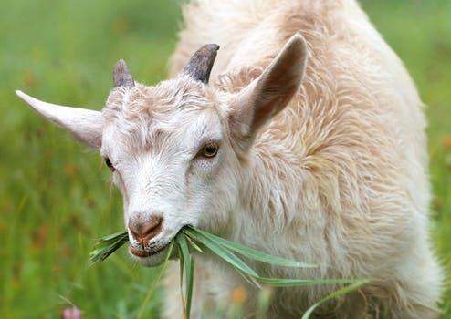 Goat Farming (बकरी पालन)
