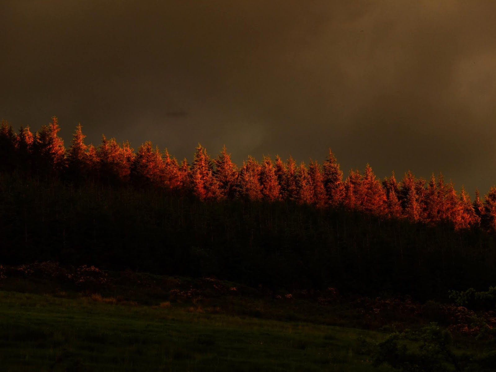Tops of conifer trees on top of a mountain lit up by the setting sun on the other side of the valley in Co.Cork, Ireland.