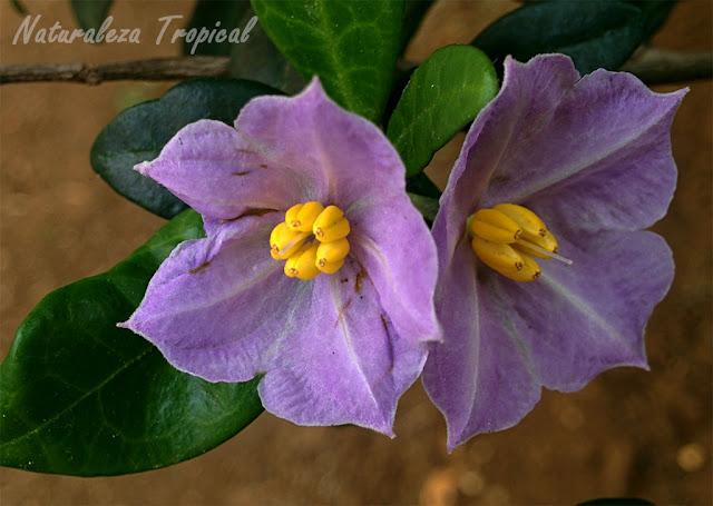 Planta ornamental del género Solanum, flor
